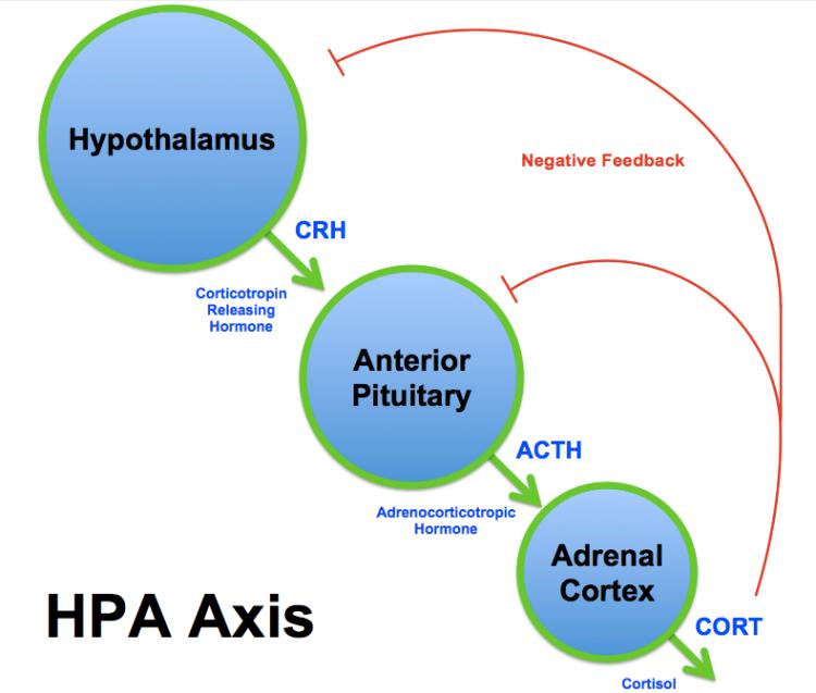 HPA_Axis_Diagram_(Brian_M_Sweis_2012)
